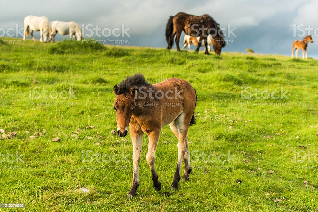 young wild ponny grazing stock photo