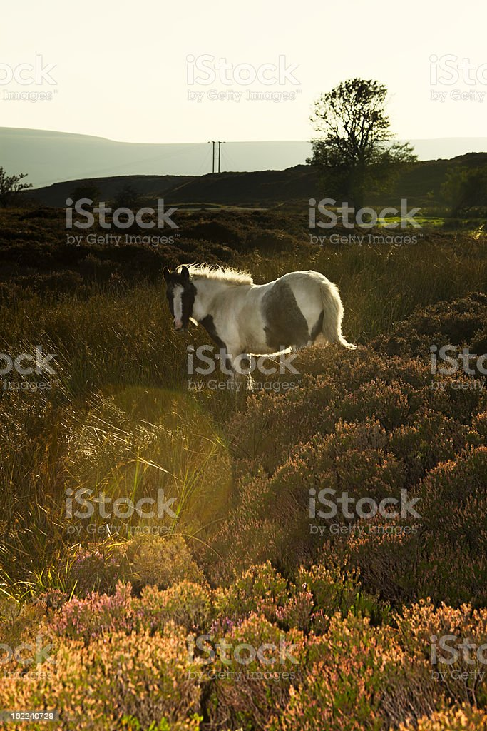 Young wild Welsh pony running free. stock photo