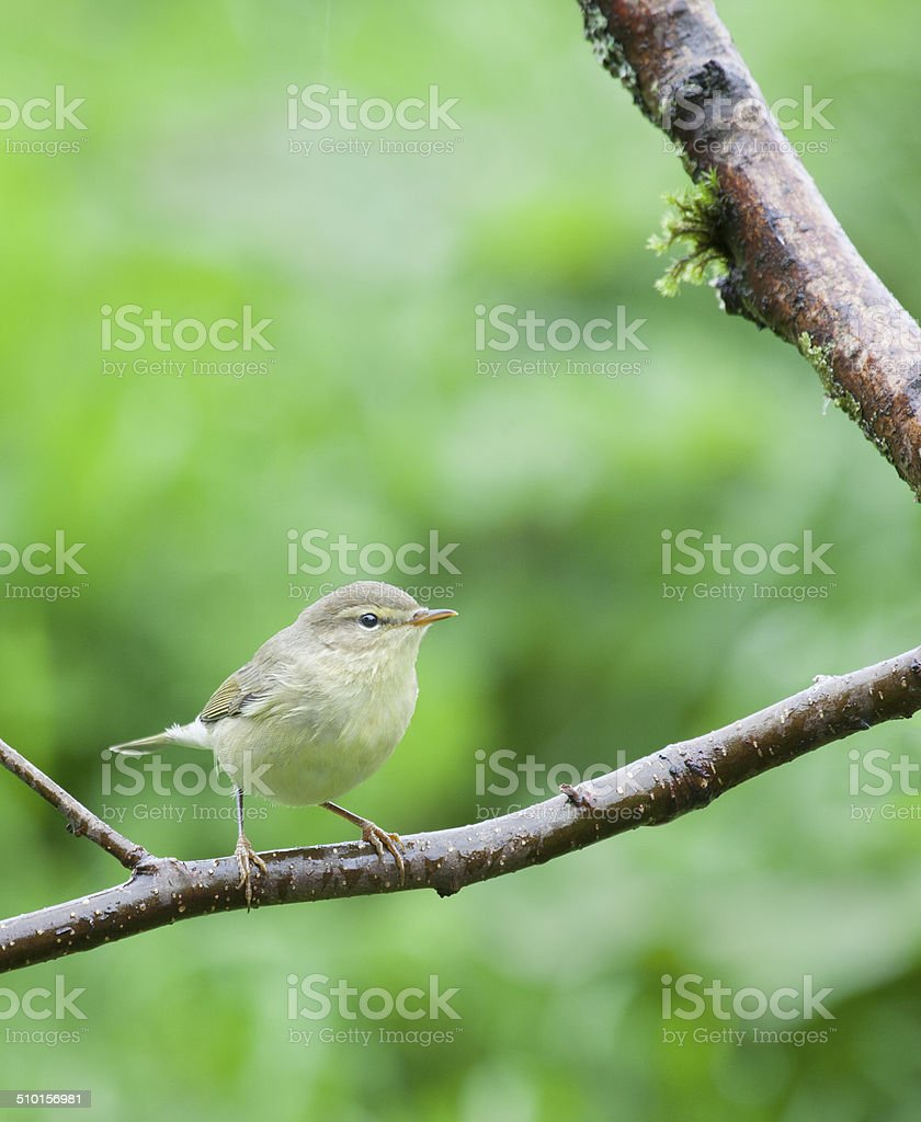 Young Willow Warbler (Phylloscopus trochilus) in rain stock photo