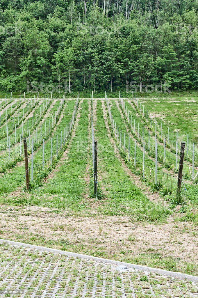 Young wineyard growing stock photo