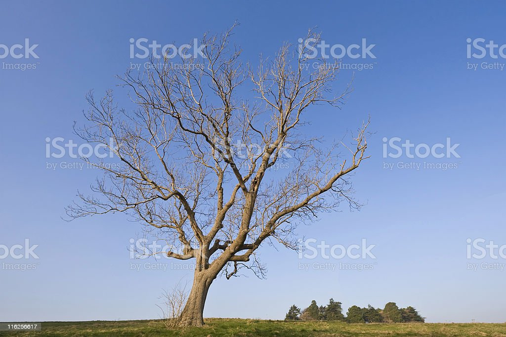 Young Winter Oak royalty-free stock photo