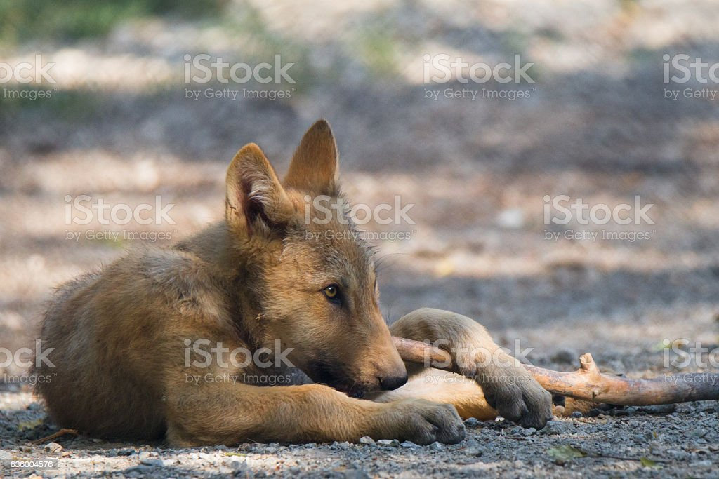 young wolf stock photo