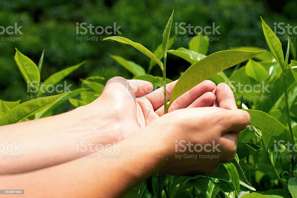 Young woman hand holding tea leaf royalty-free stock photo