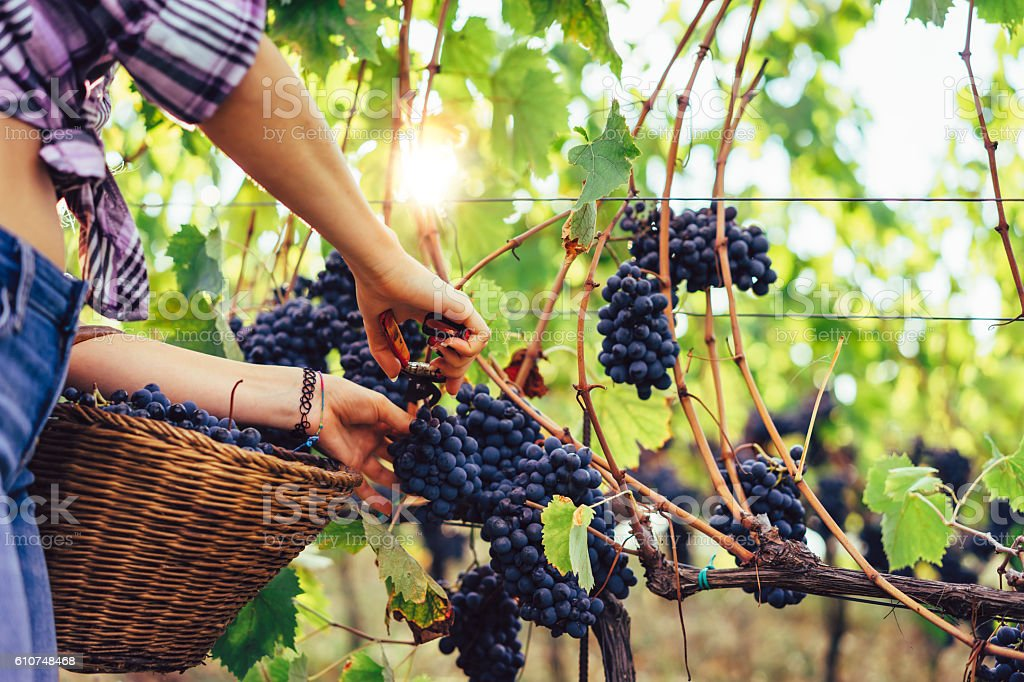 Young Woman hands cutting a grape bunch with scissors stock photo