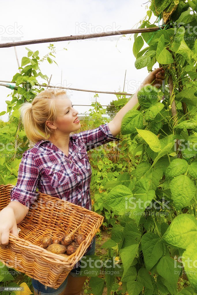 Young woman harvesting beans on an organic farm stock photo