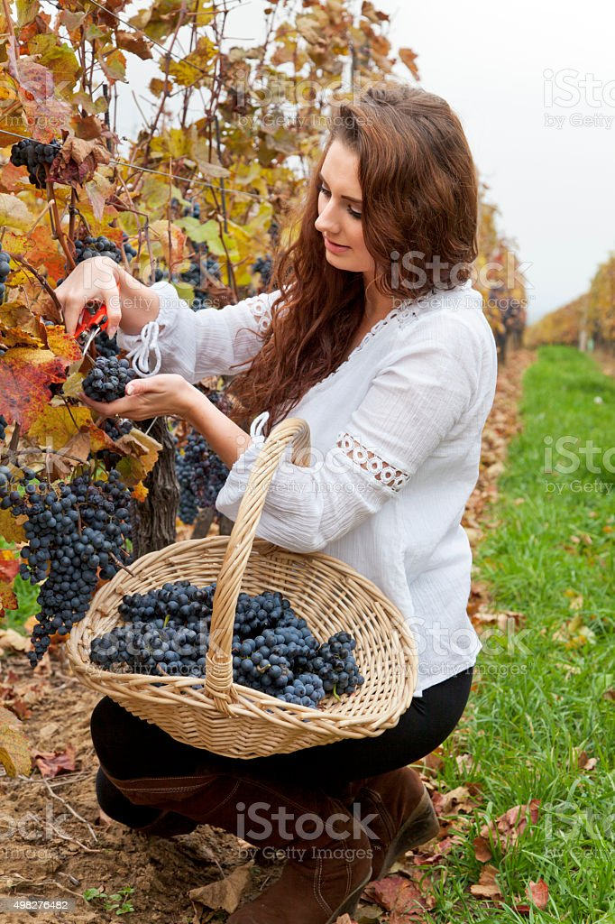 Young woman harvesting grapes in the vineyard. stock photo