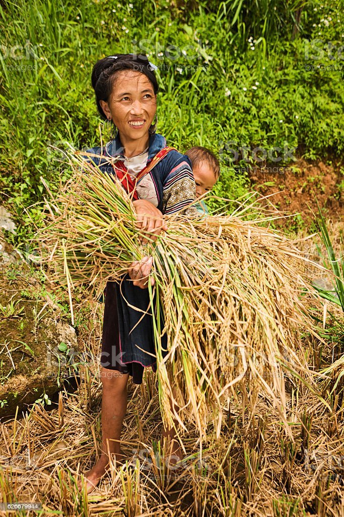 Young woman harvesting rice with baby on her back, Vietnam stock photo