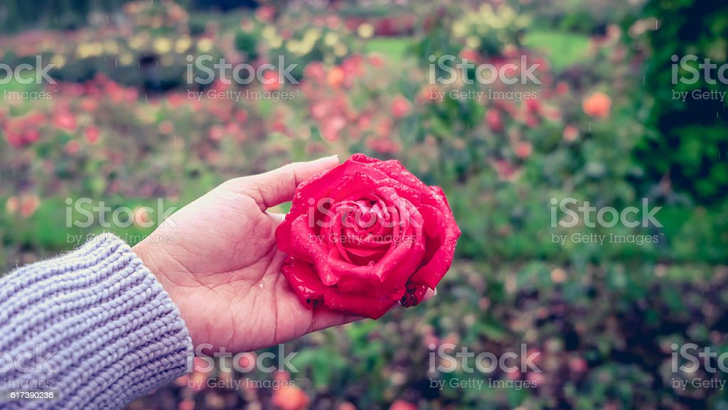 Young woman holding single rose flower stock photo