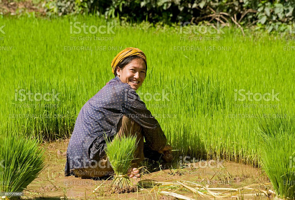 'Young woman is planting fresh rice, Southern Laos' stock photo