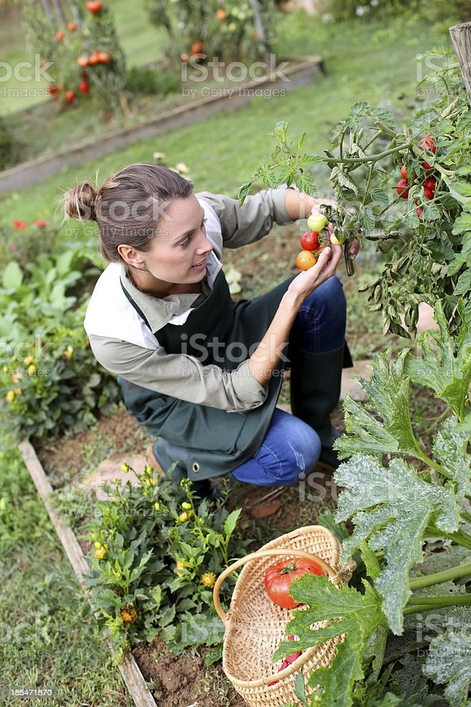 Young woman kneeling in garden picking up tomatoes royalty-free stock photo