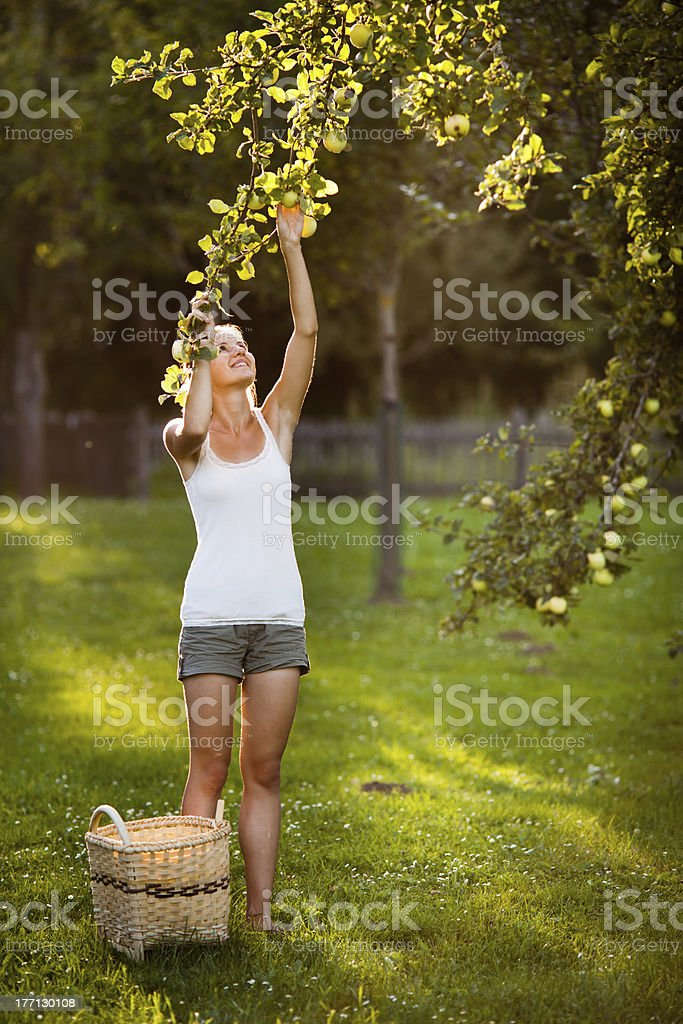 Young woman picking apples from an apple tree royalty-free stock photo