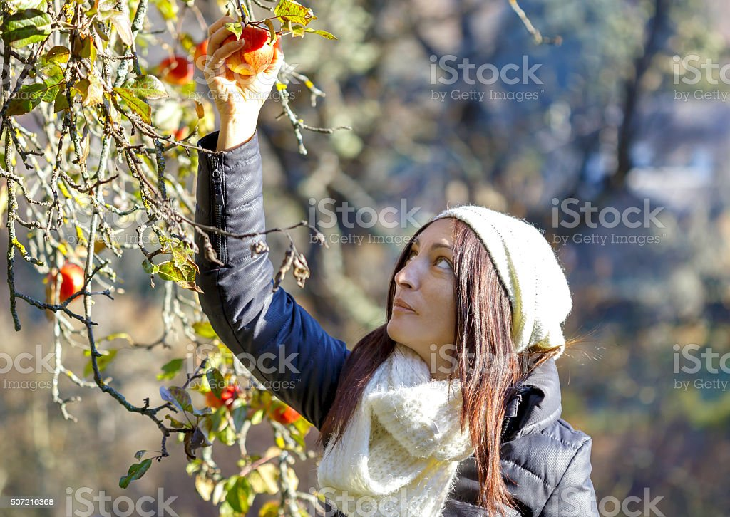 Jovem mulher de colheita de maçãs foto royalty-free