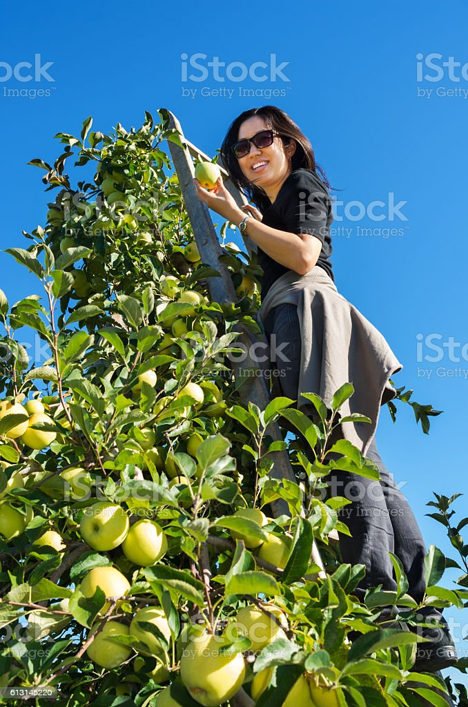 young woman picking apples stock photo