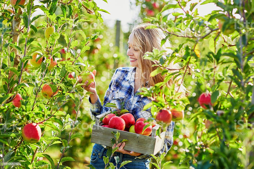 Young woman picking ripe organic apples stock photo
