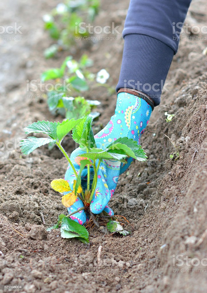 Young Woman Planting a Seedling of Strawberry stock photo