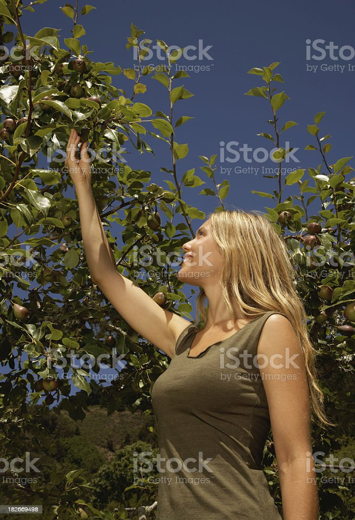 Young Woman Reaching for Pears on Tree royalty-free stock photo