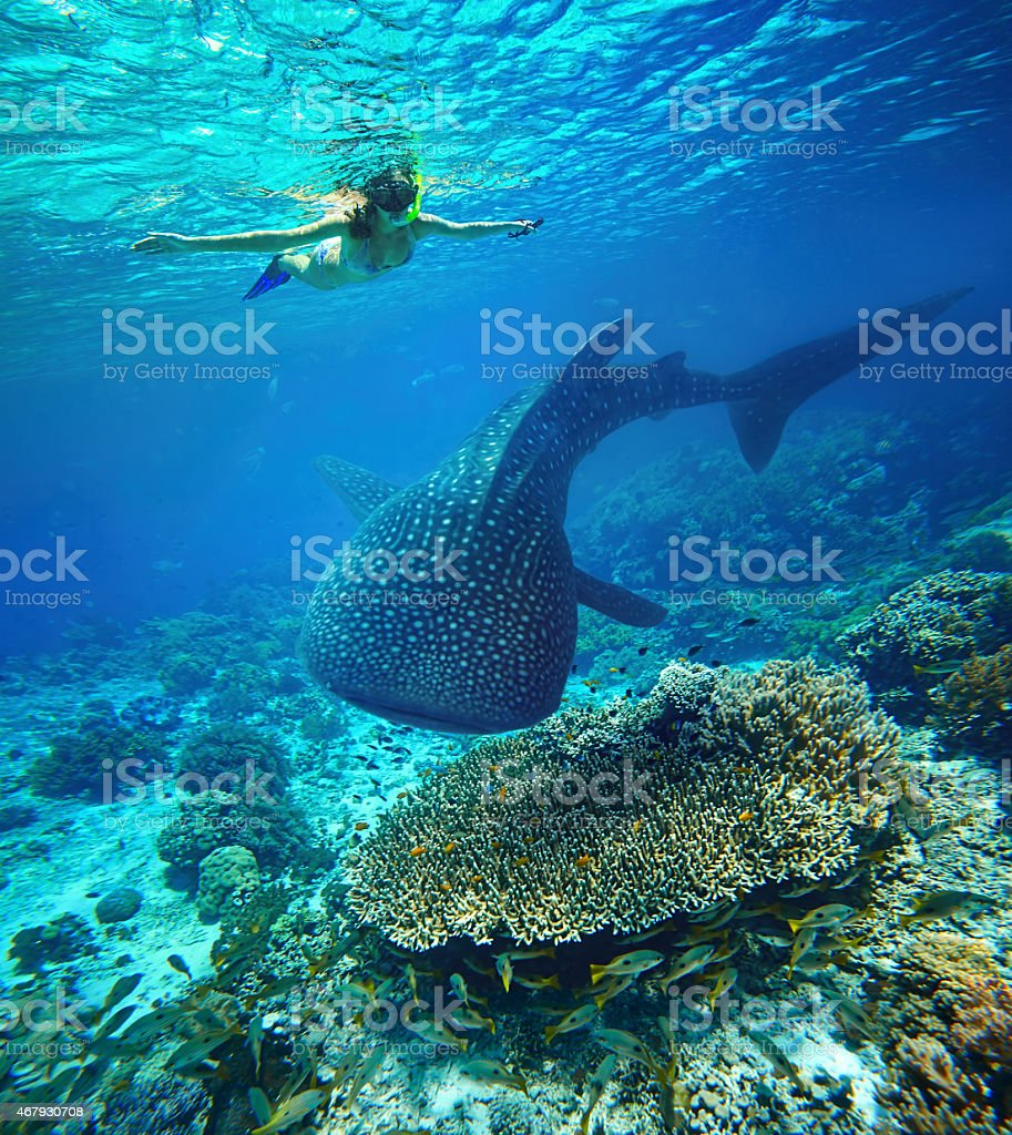 Young woman snorkeling with whale shark. stock photo
