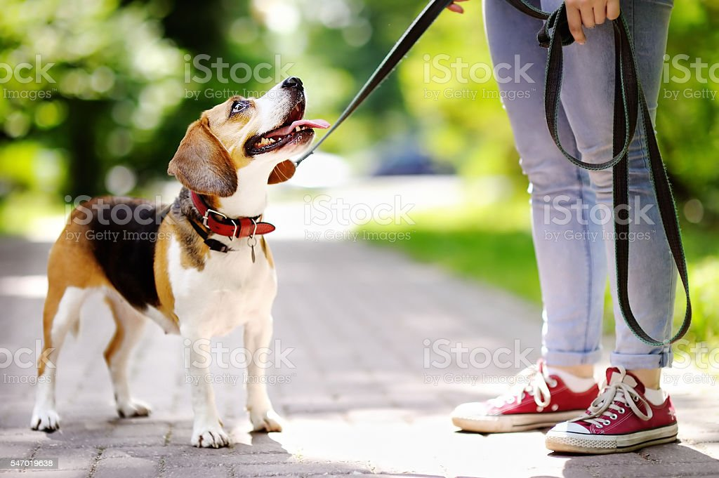 Young woman with Beagle dog in the park stock photo