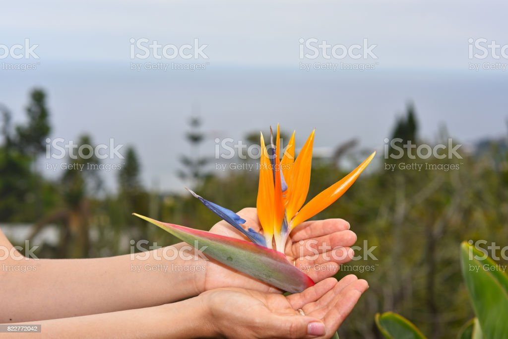 Young woman with flower of Strelitzia stock photo