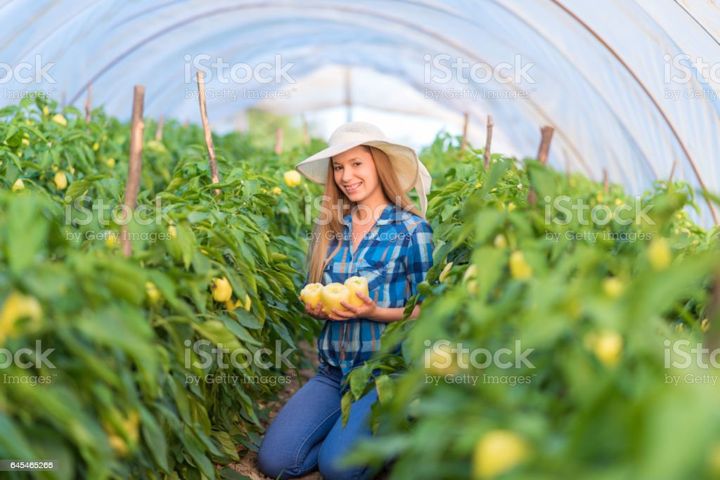 Young Woman working on a bell pepper, paprika plantation stock photo