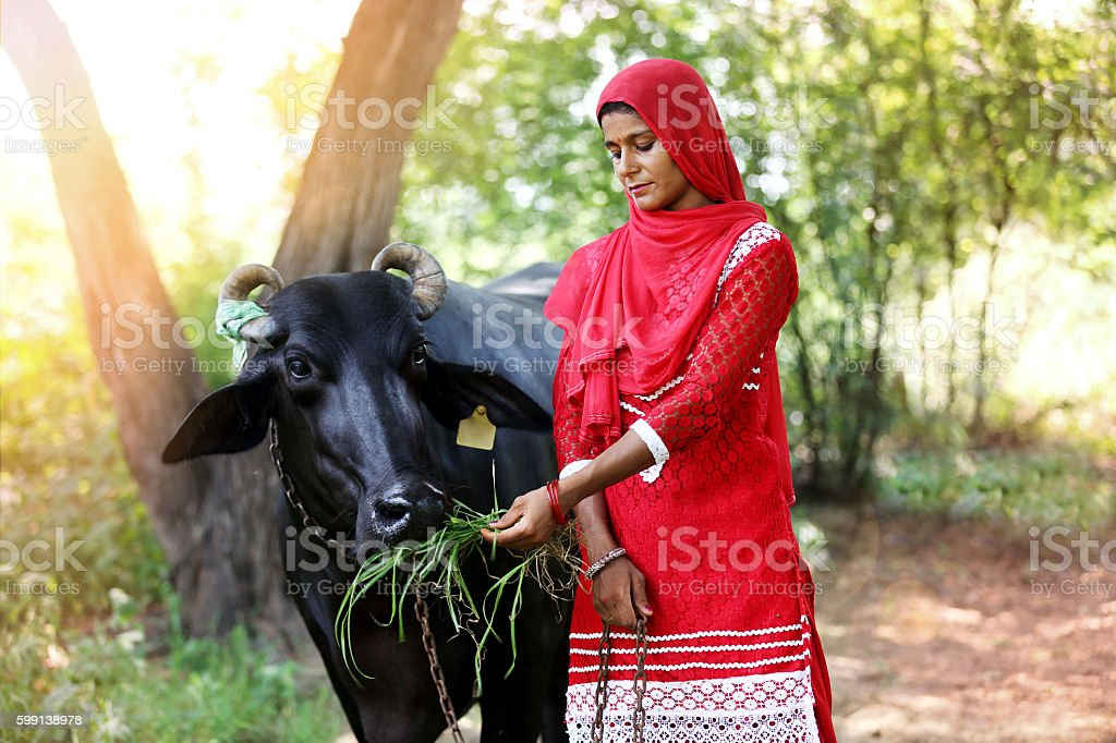 Young women feeding silage to water buffalo stock photo
