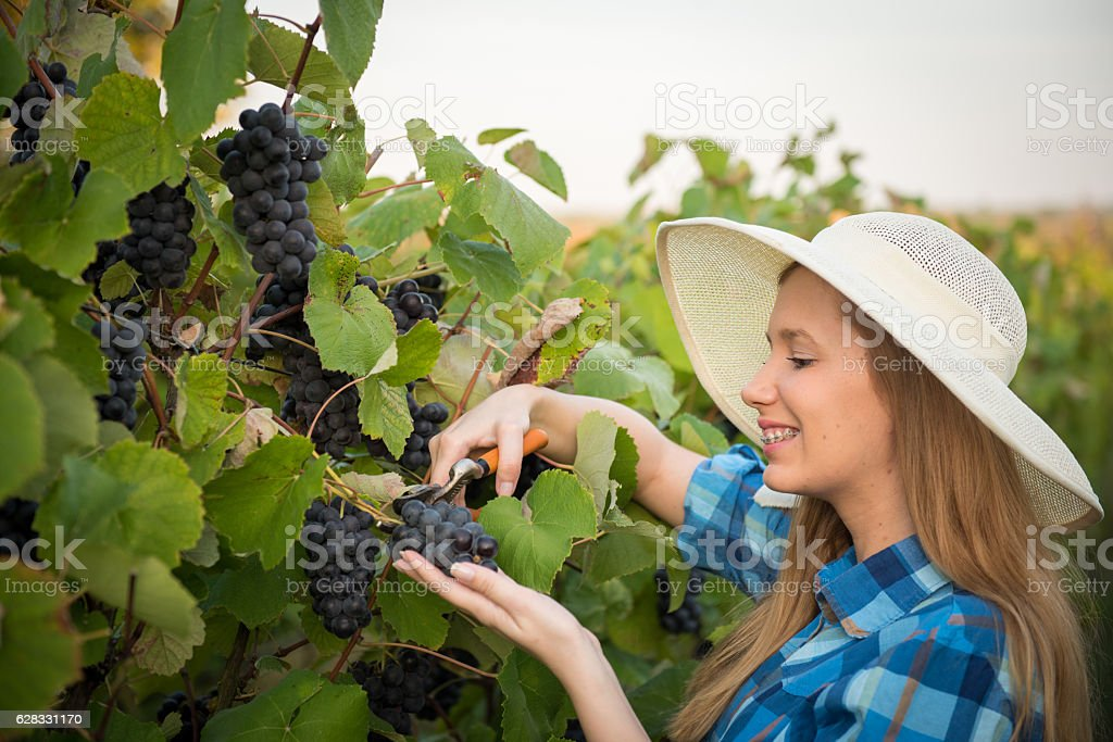 Young women harvesting grapes on a beautiful autumn day stock photo