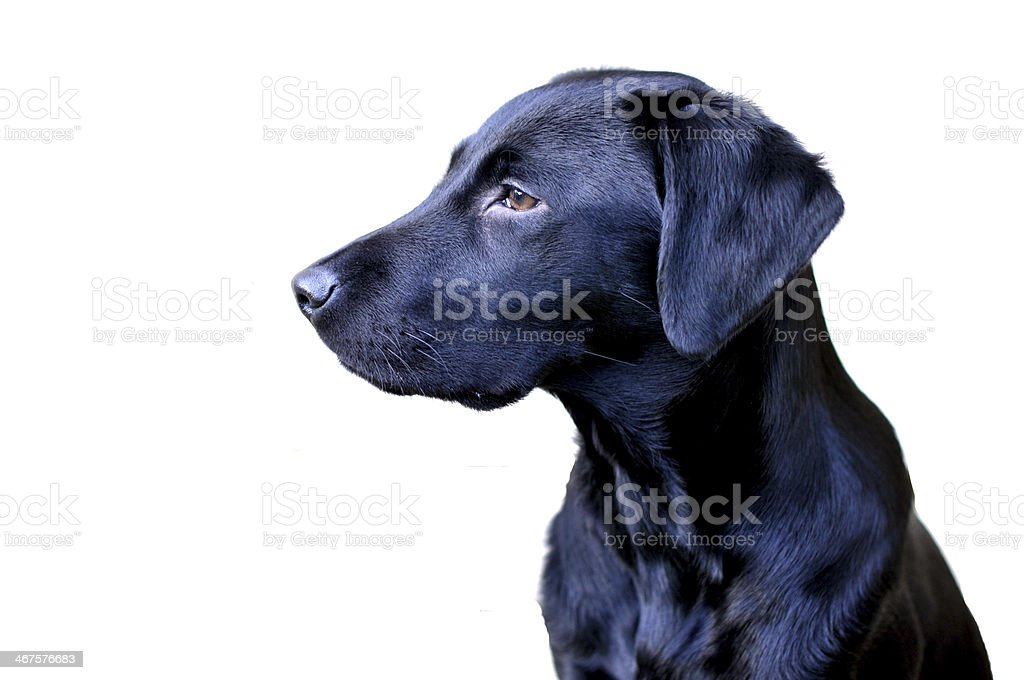 young working labrador royalty-free stock photo