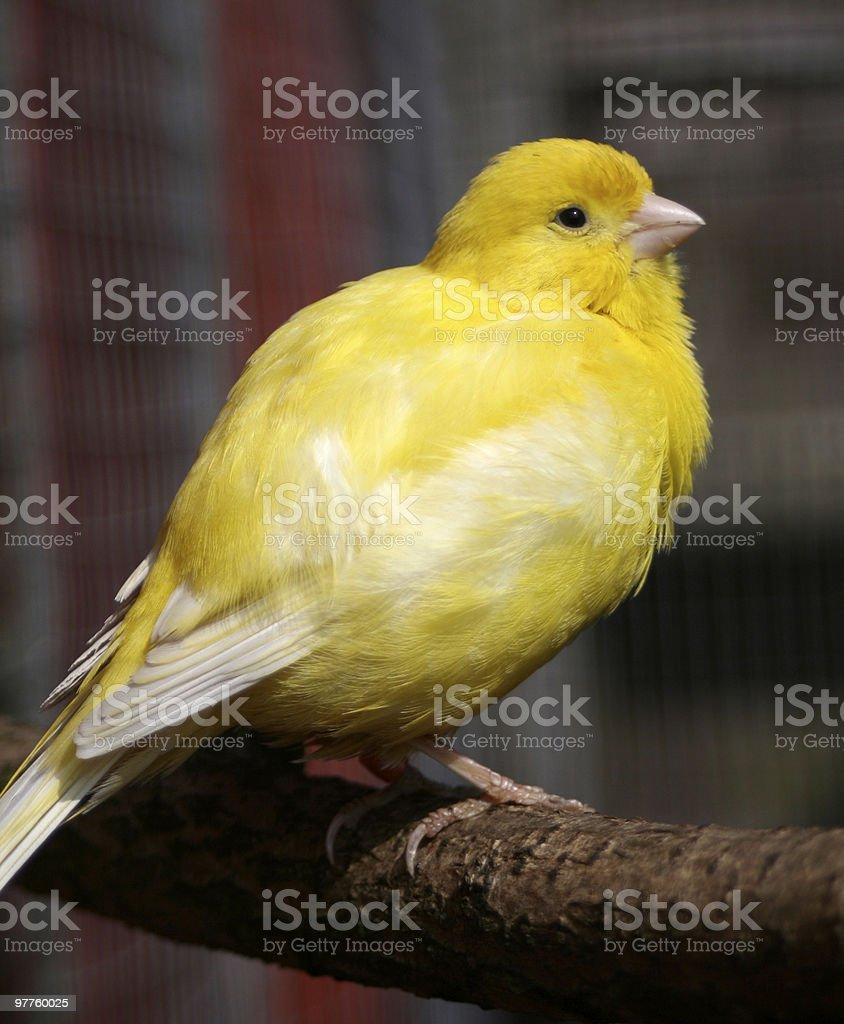 Young Yellow Canary stock photo