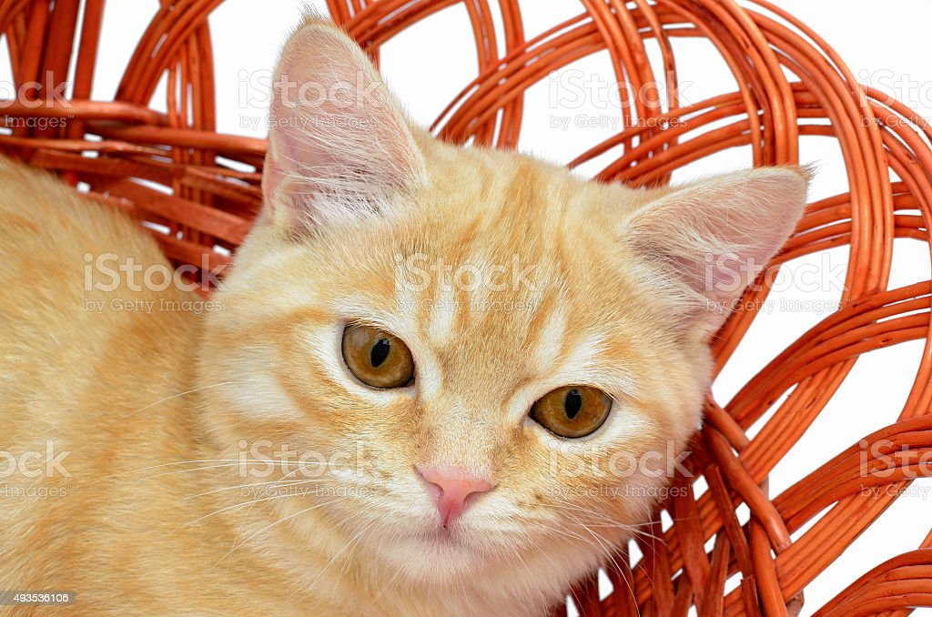 Young yellow cat sitting in a wicker basket stock photo