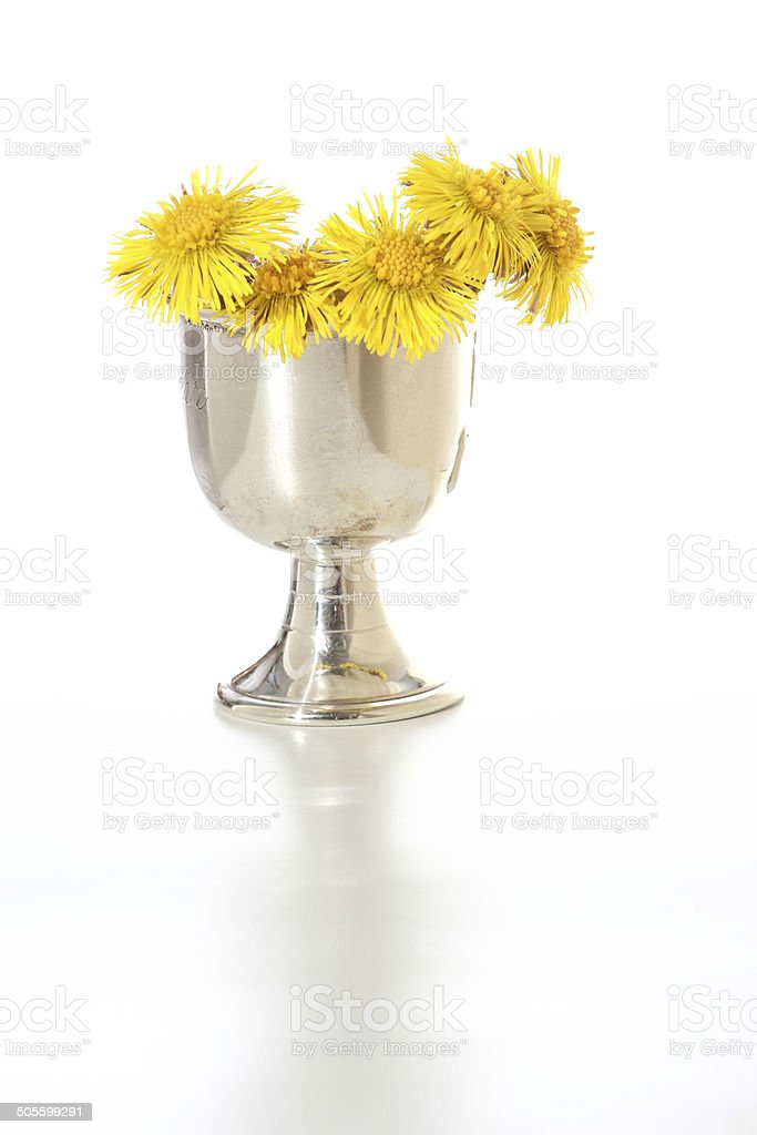 young yellow dandelion living in a silver cup stock photo