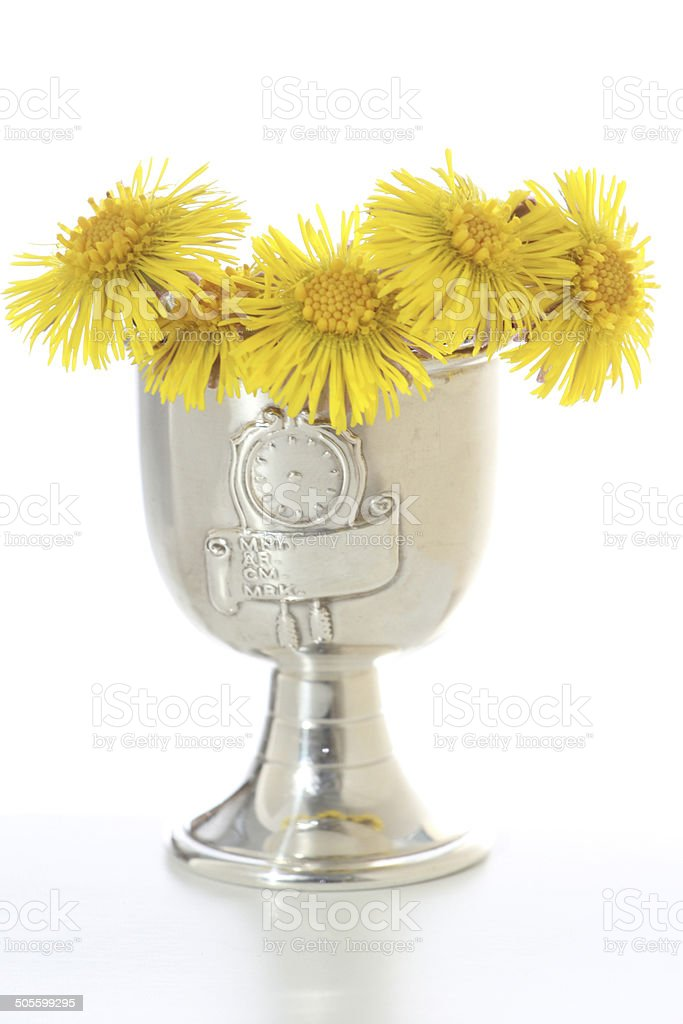 young yellow dandelion living in a silver trophy stock photo