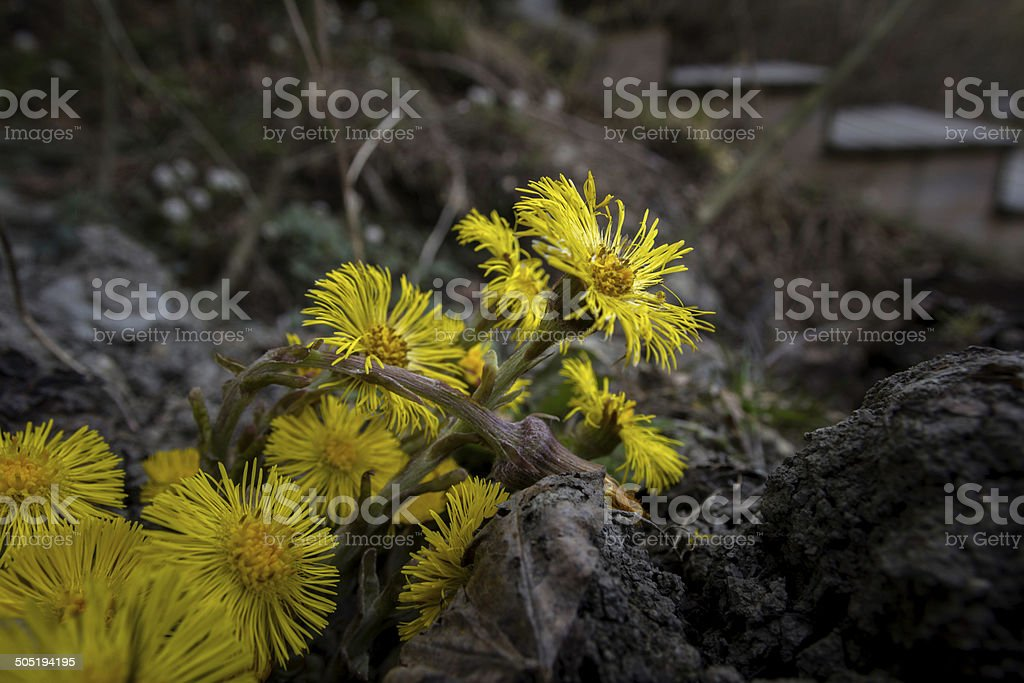 young yellow dandelion living in the dirt dark stock photo