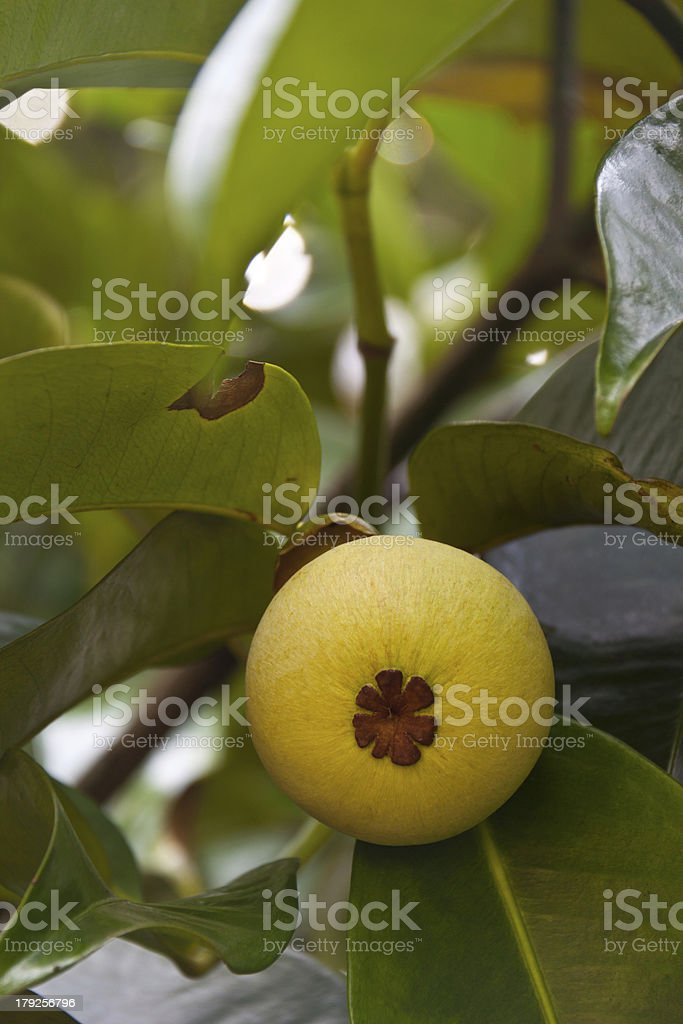 Young yellow mangosteen on tree royalty-free stock photo