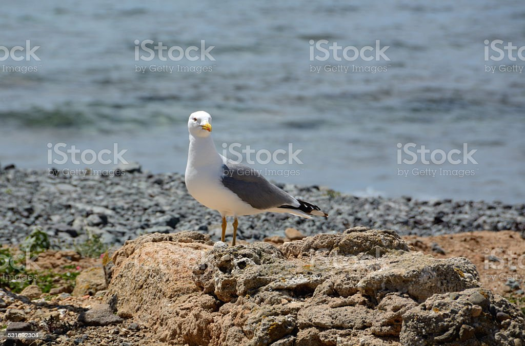 Young Yellow-legged gull stock photo