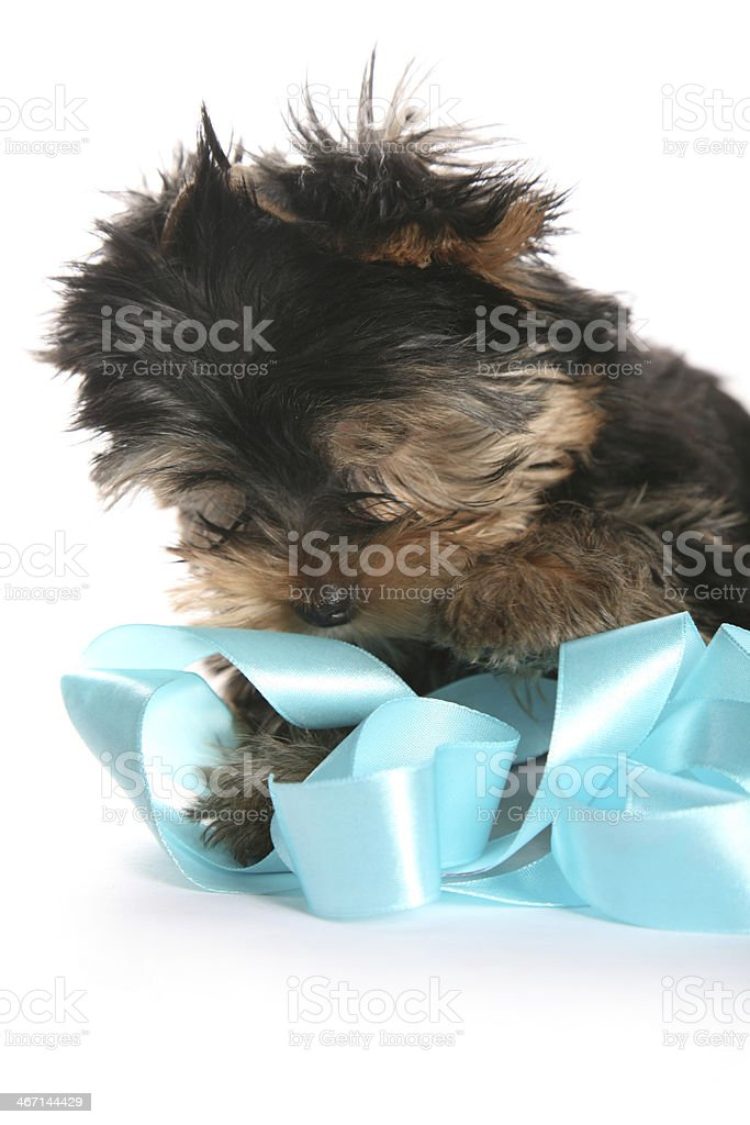Young Yorkshire Terrier Puppy playing with ribbon looking down royalty-free stock photo