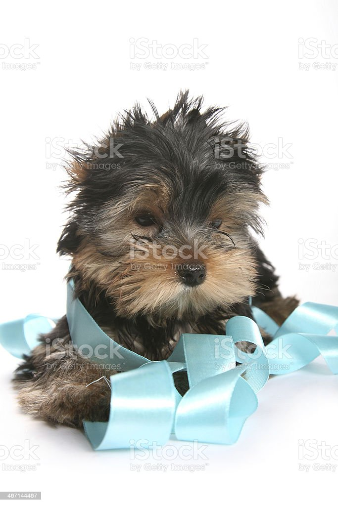 Young Yorkshire Terrier Puppy playing with ribbon sad royalty-free stock photo