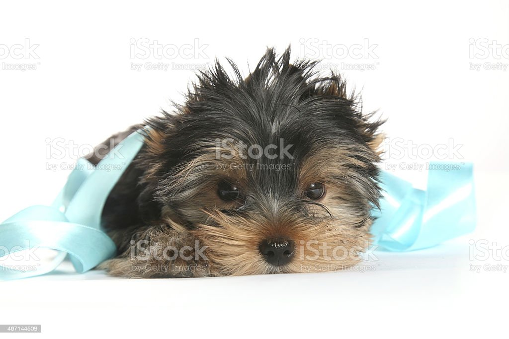 Young Yorkshire Terrier Puppy with ribbon horizontal royalty-free stock photo