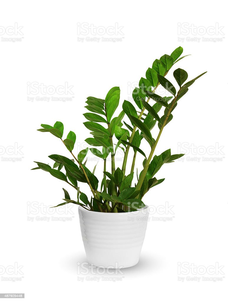 young Zamioculcas a potted plant isolated over white stock photo