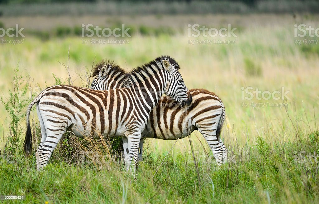 Young zebra in morning light stock photo