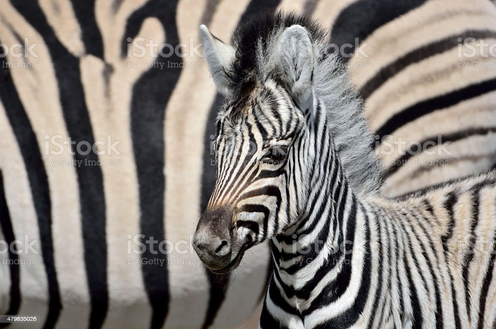 young zebra in namibia stock photo