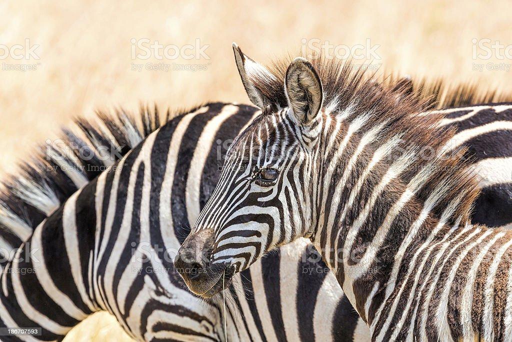 young Zebra - looking at camera stock photo