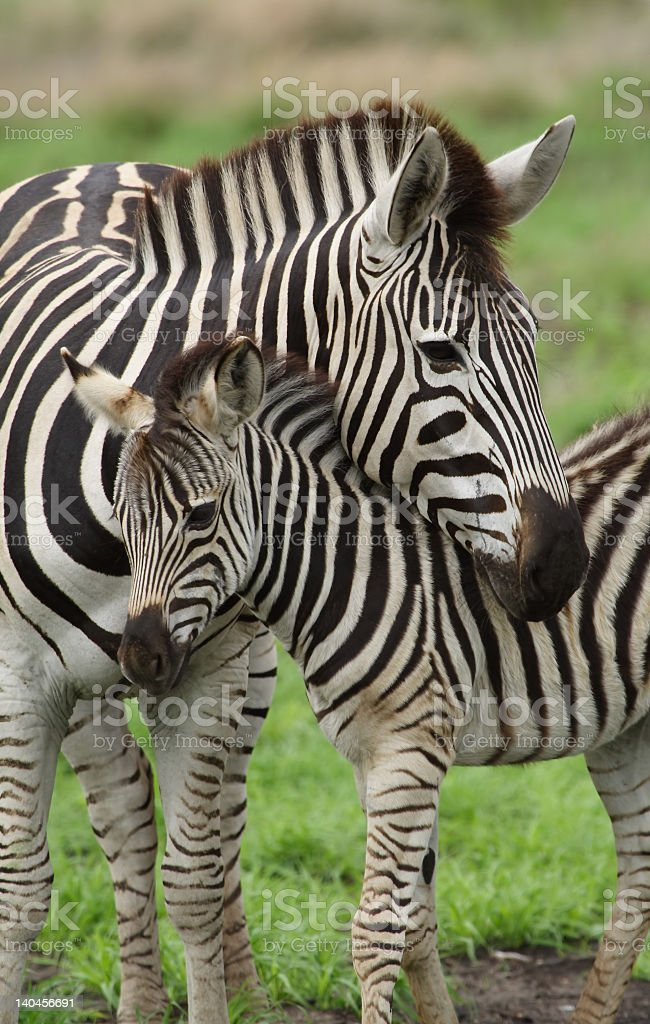 A young zebra nuzzling under its mother outdoors stock photo