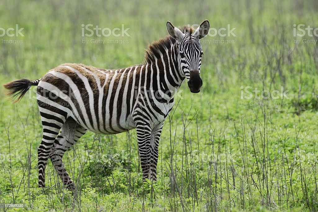 young zebra royalty-free stock photo