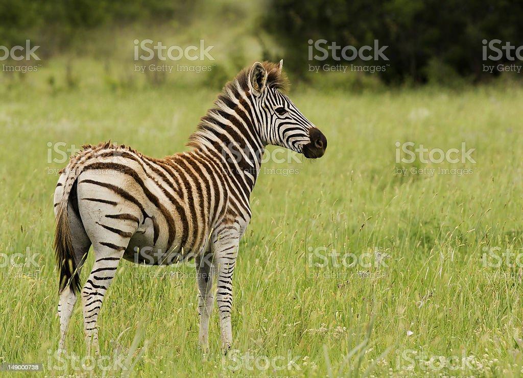 Młody Zebra Ogier zbiór zdjęć royalty-free