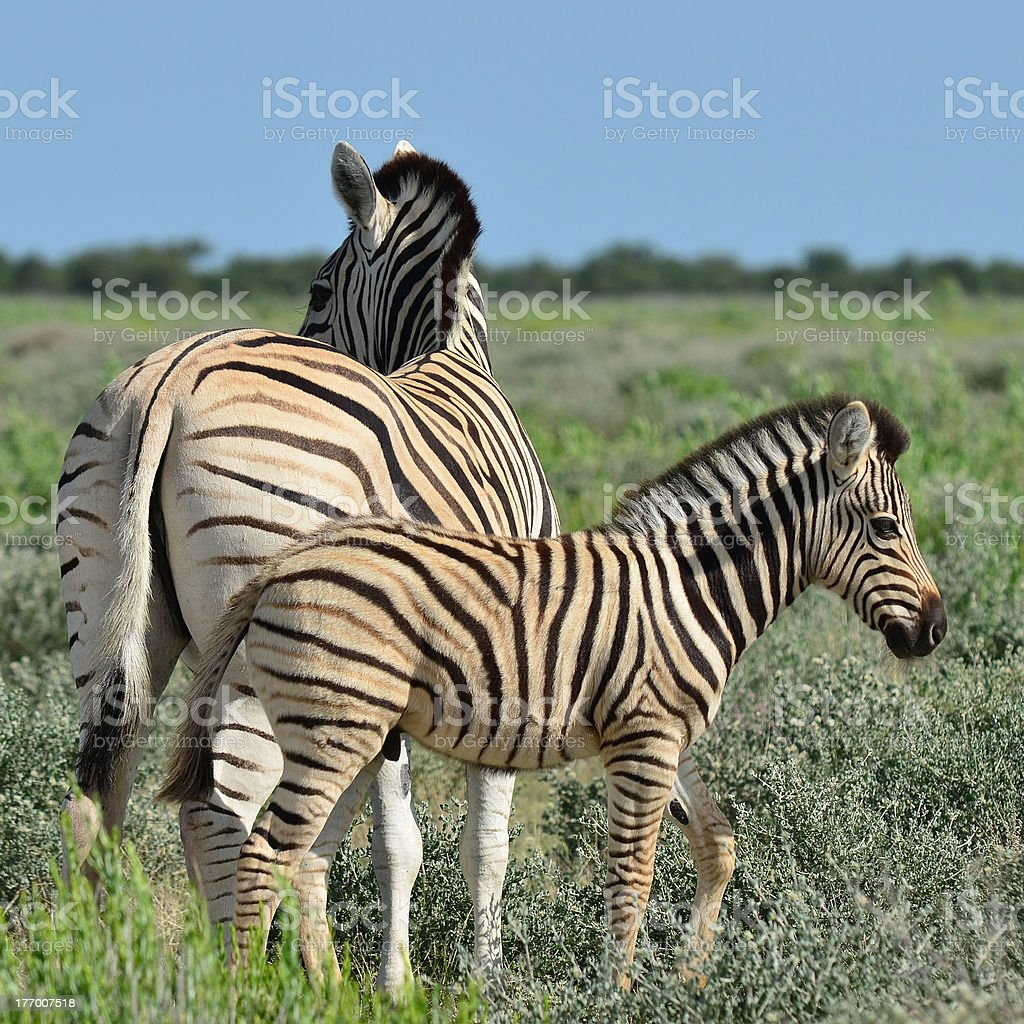young zebra with its mum stock photo