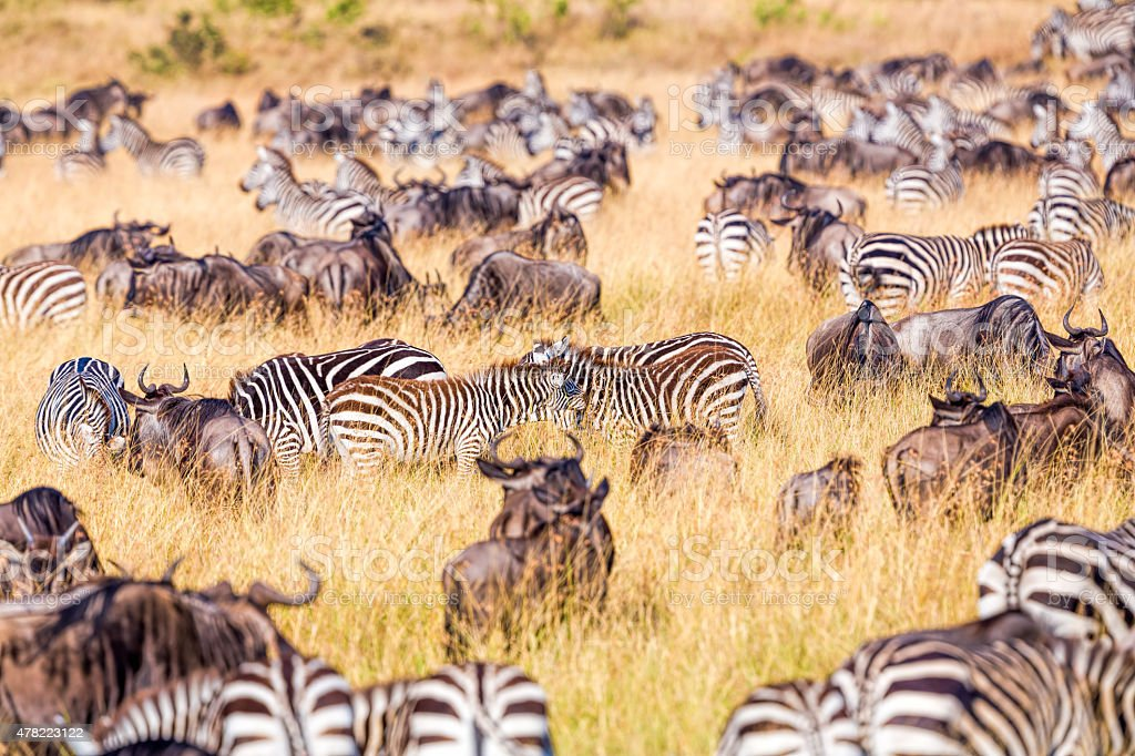 Young Zebra with mother in herd  - feeding stock photo