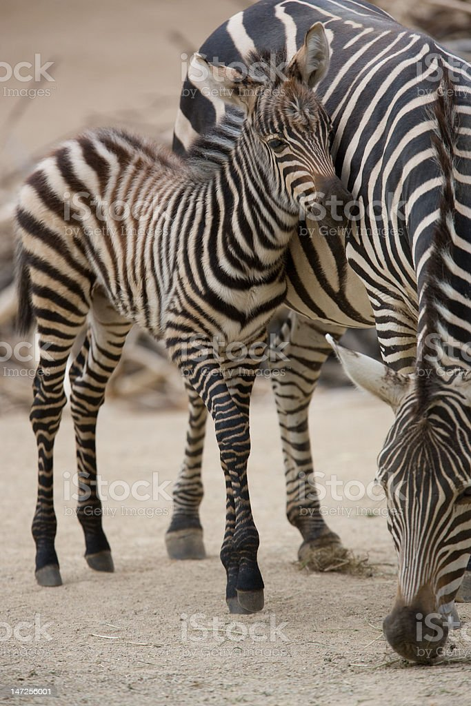 young Zebra with mother royalty-free stock photo