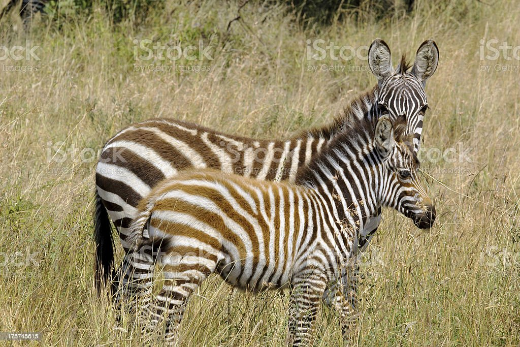 Young zebras royalty-free stock photo