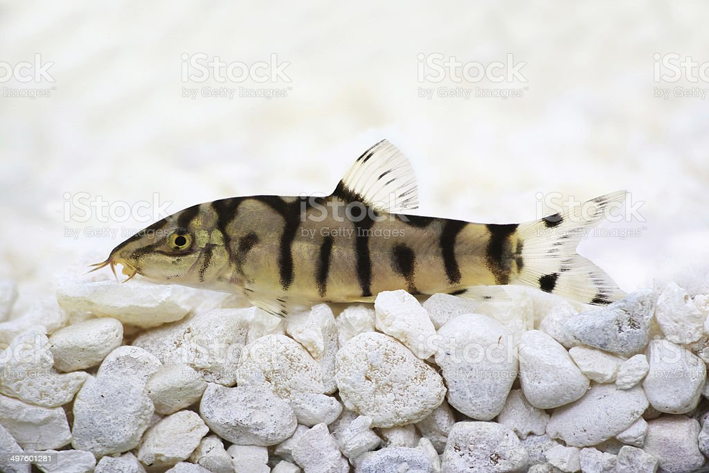 Yoyo loach Almora loach or Pakistani loach, Catfish Botia almorhae stock photo