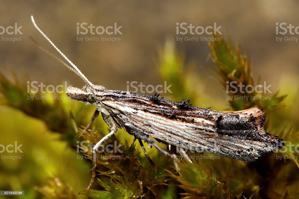Ypsolopha scabrella micro moth stock photo